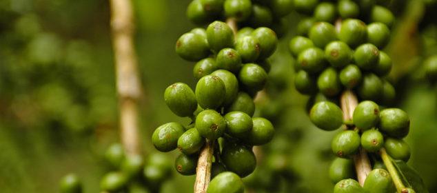 cafea verde măcinată